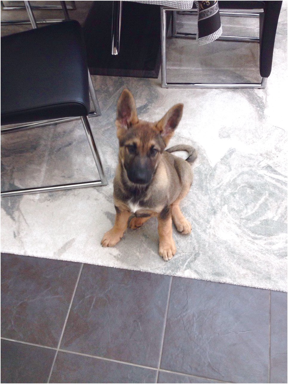 german shepherd puppies for sale near enfield