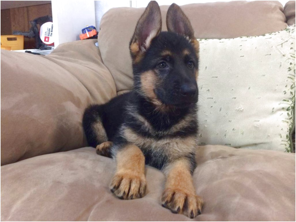 German Shepherd Puppies For Sale In Pa — Sayno2Legalcrime