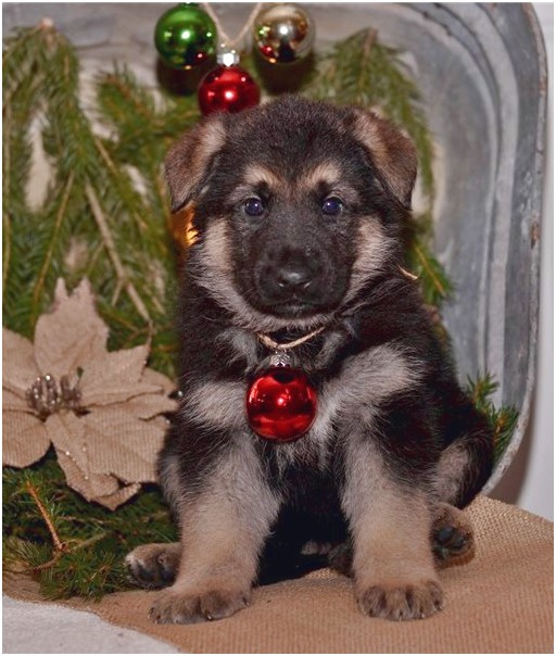 german shepherd puppies for sale under 500