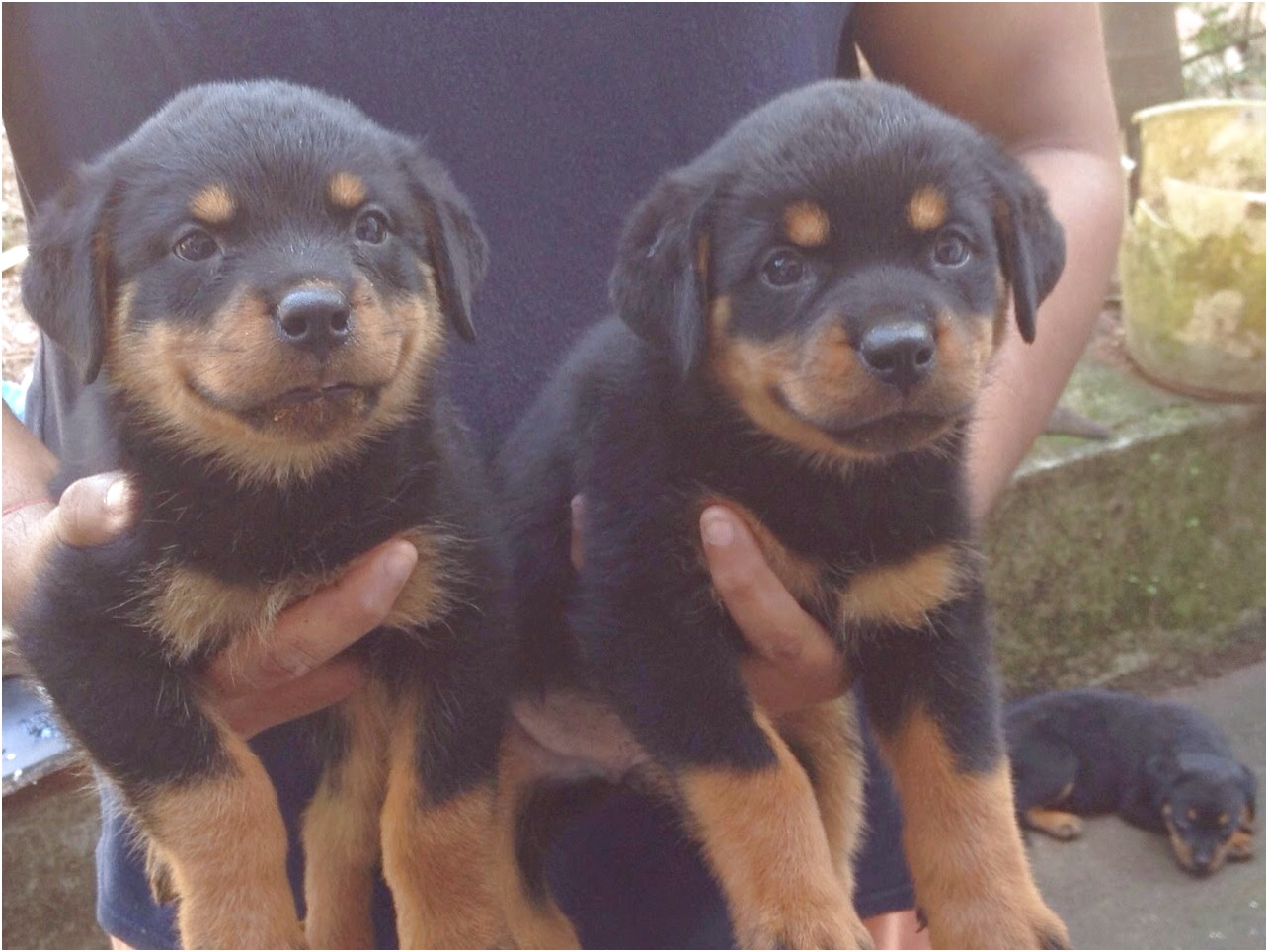 giant rottweiler puppies for sale near me