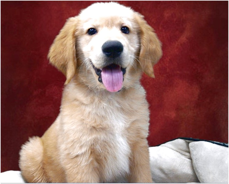 golden retriever puppies for sale near los angeles