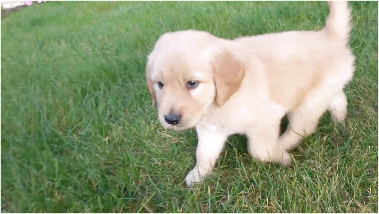 Golden Retriever Puppies For Sale Near Me For Cheap