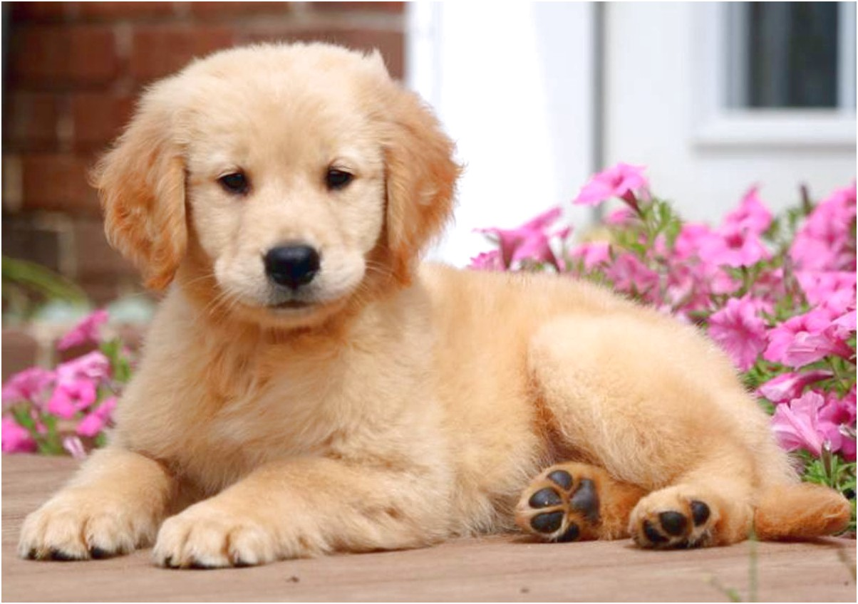 golden retriever puppies for sale near me hoobly