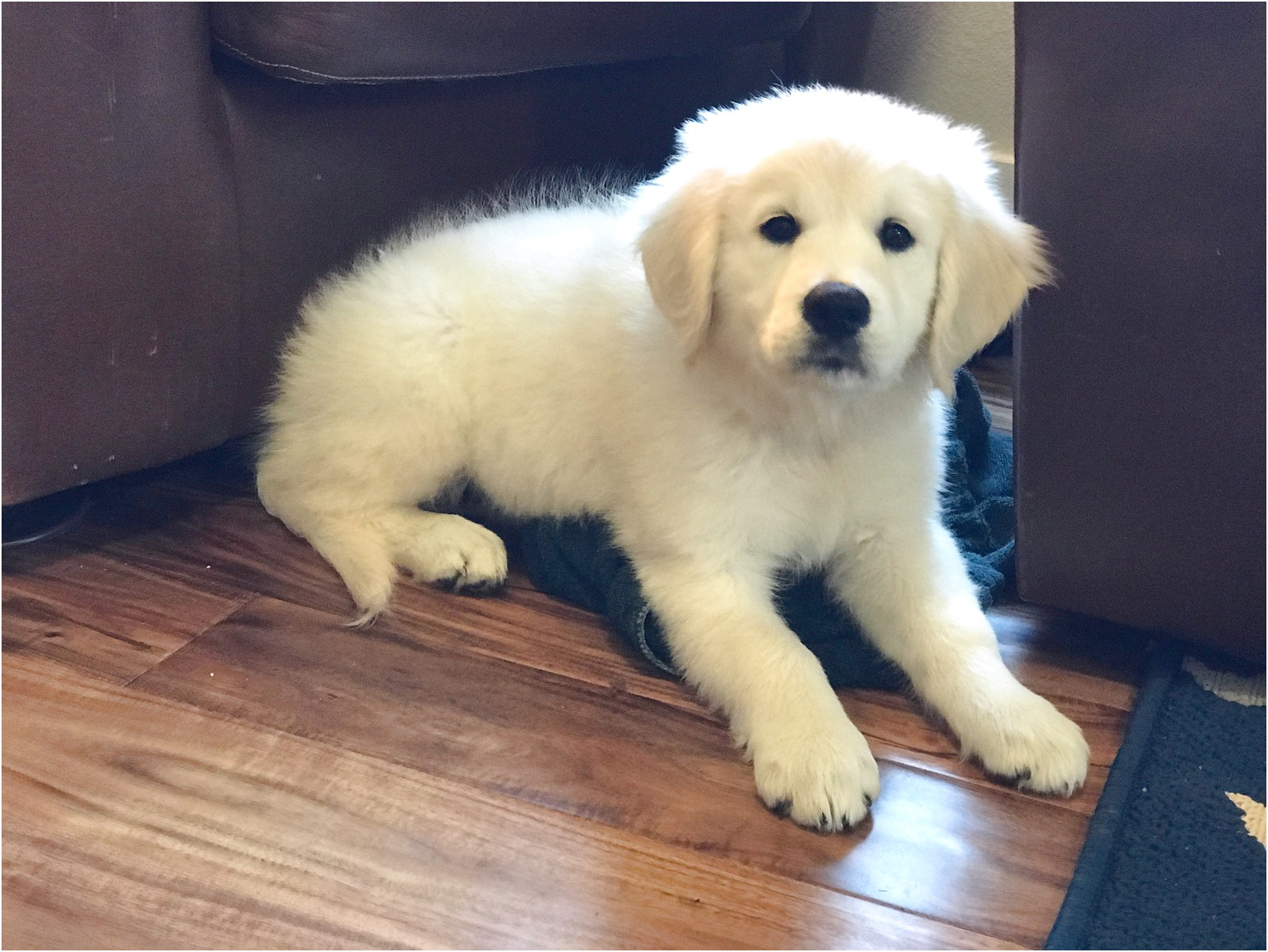 Golden Retriever Puppies For Sale Pittsburgh Pa