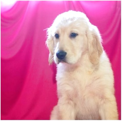 golden retriever puppies for sale youngstown ohio