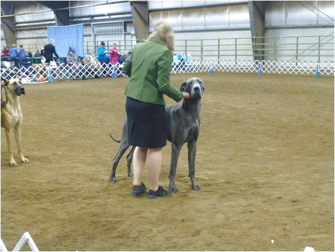 great dane breeders az