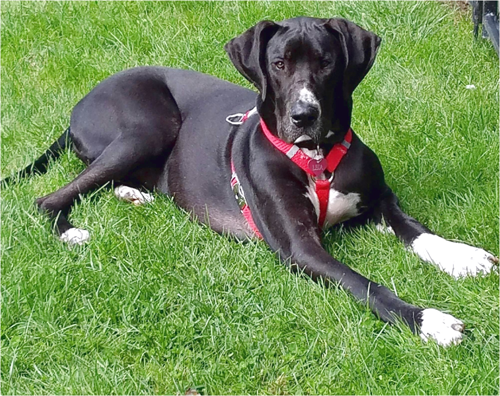 great dane for adoption nyc