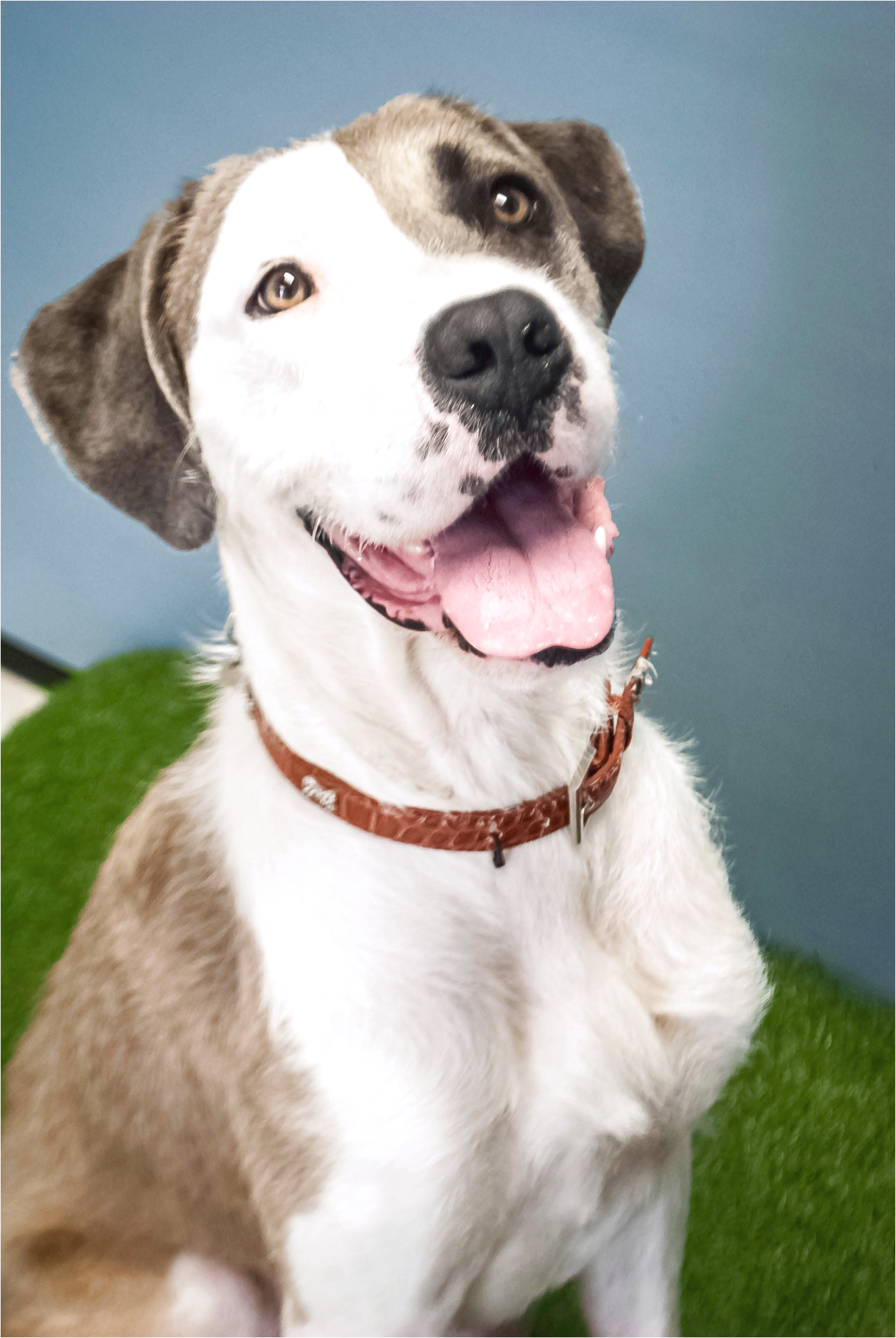great dane for adoption qld