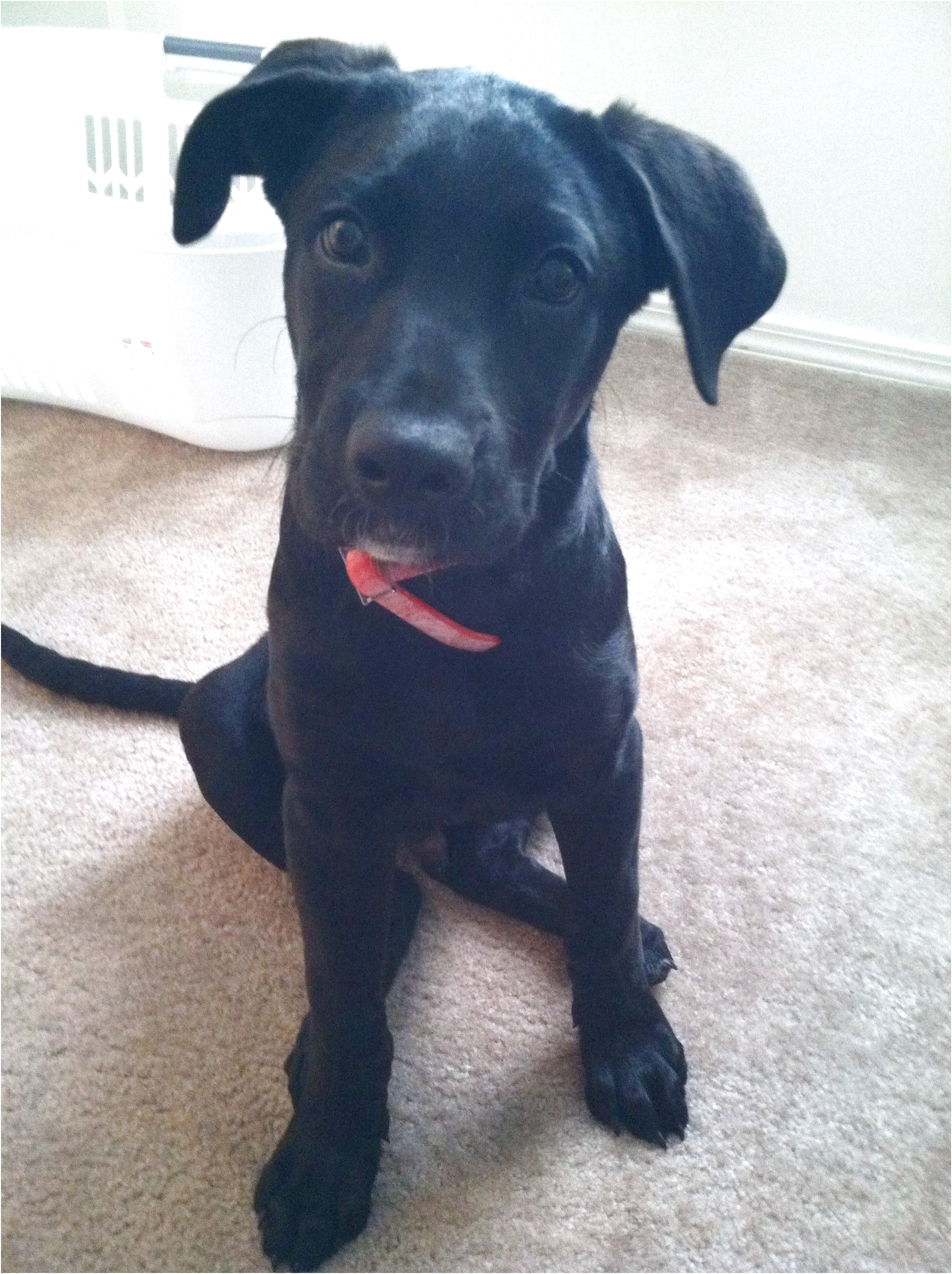 great dane lab mix puppies for sale in nc