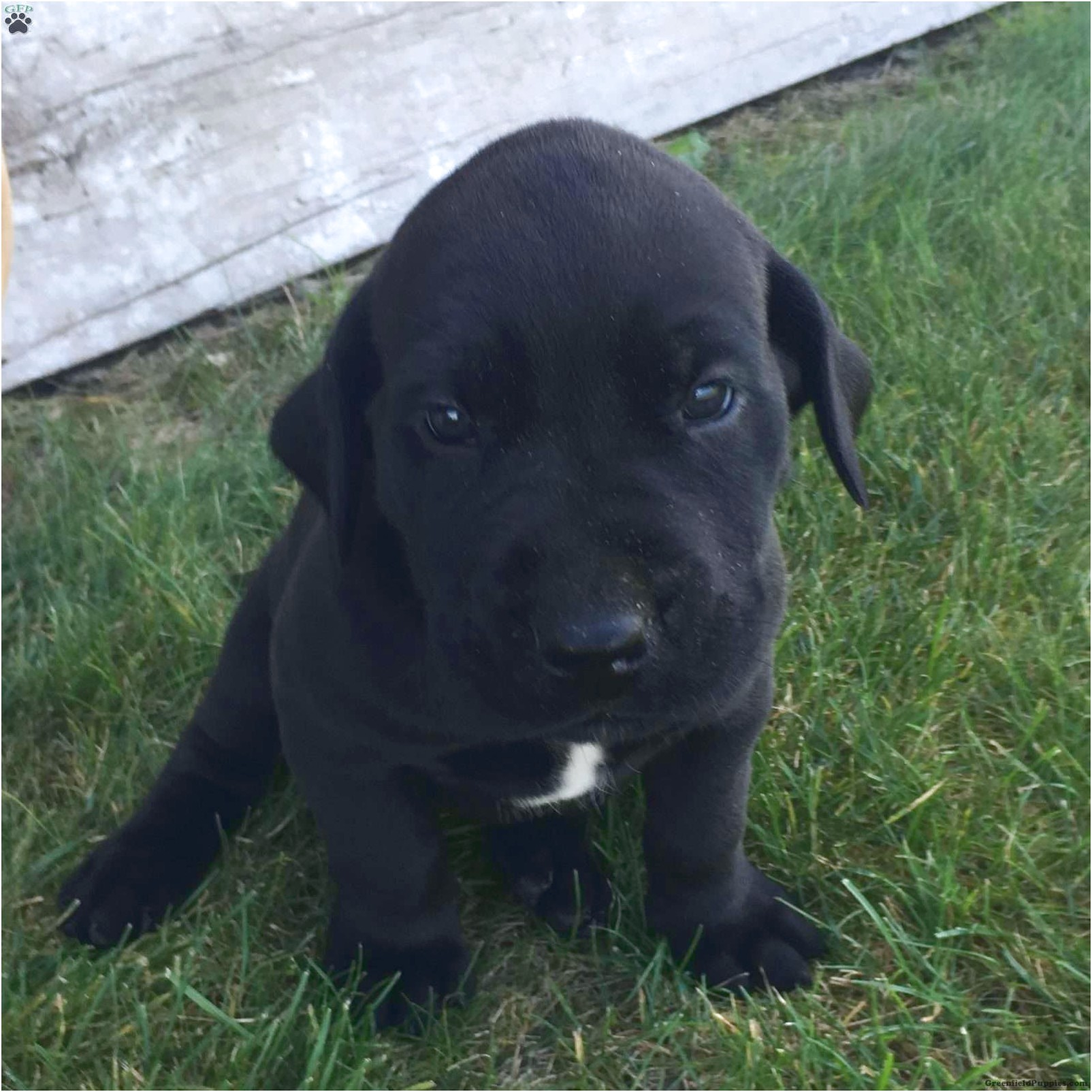 great dane mix puppies for sale in ohio