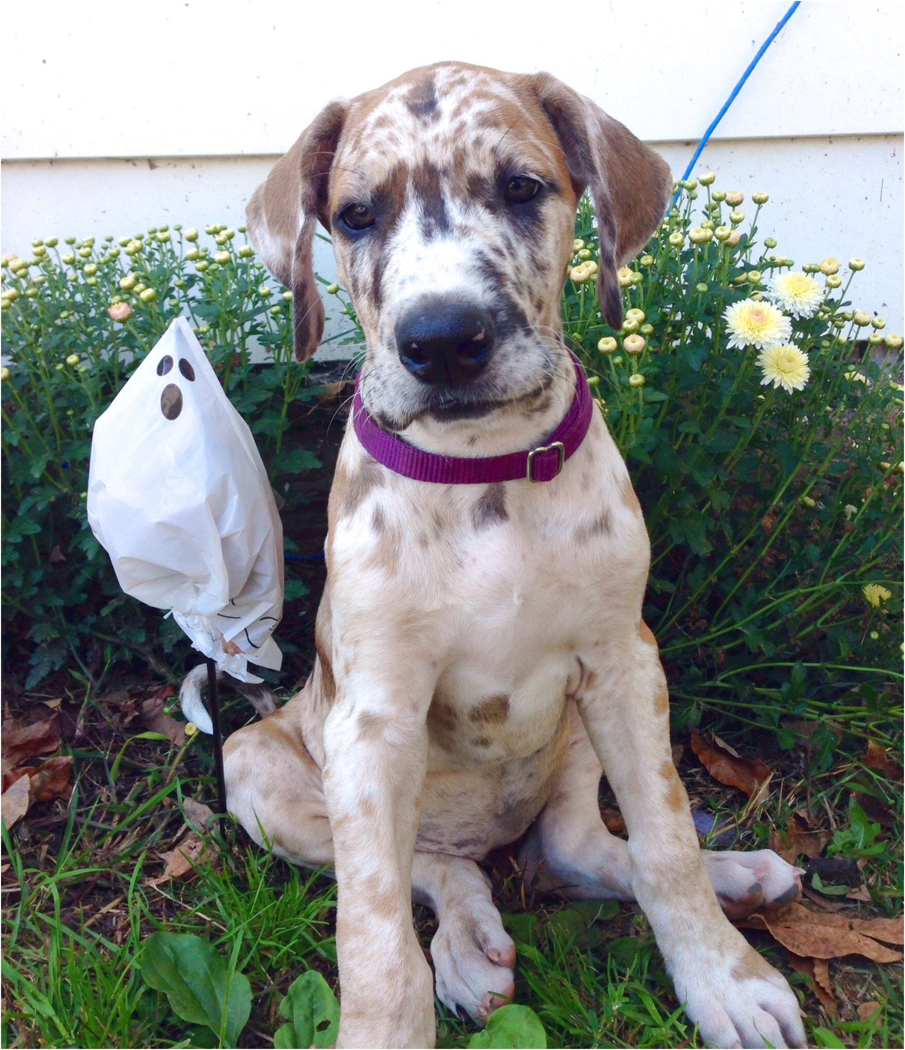 great dane puppies breeders in ny