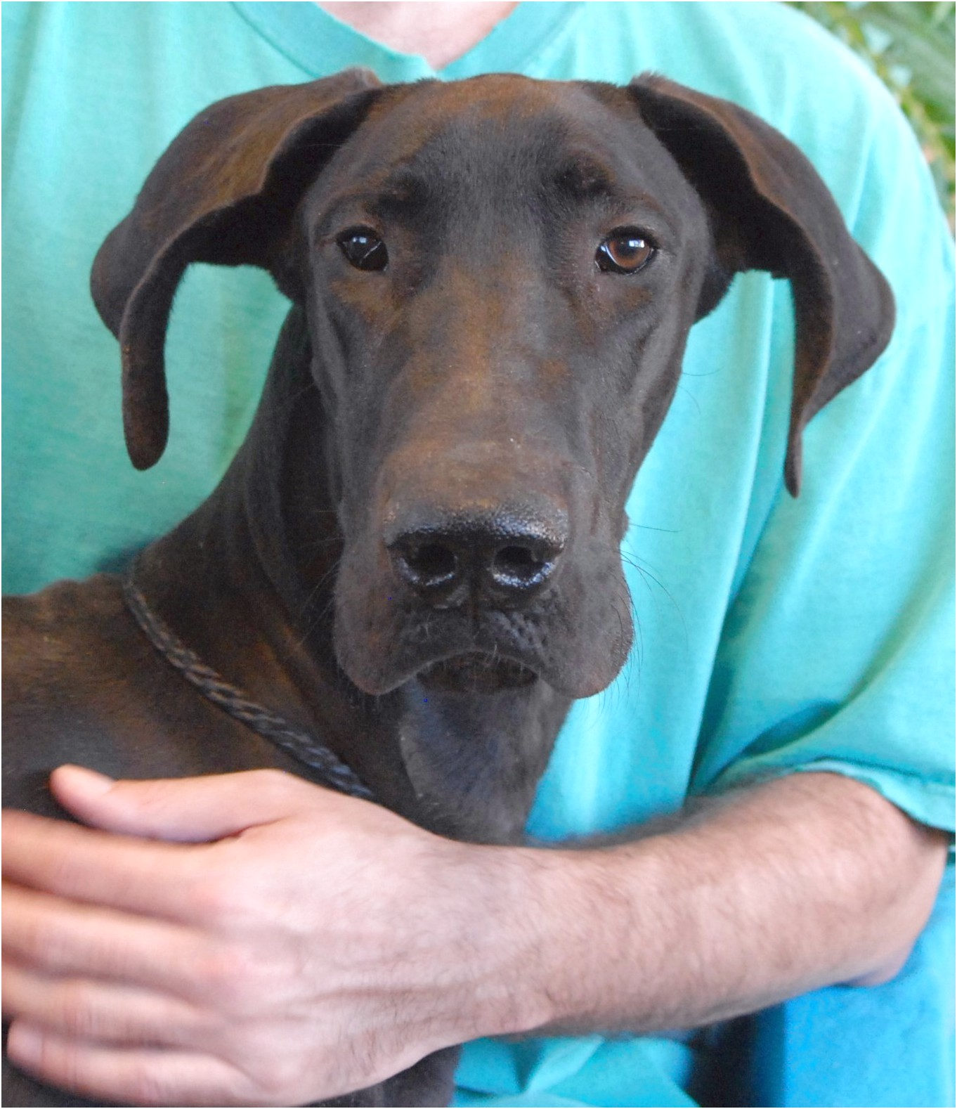 great dane puppies for adoption in ct