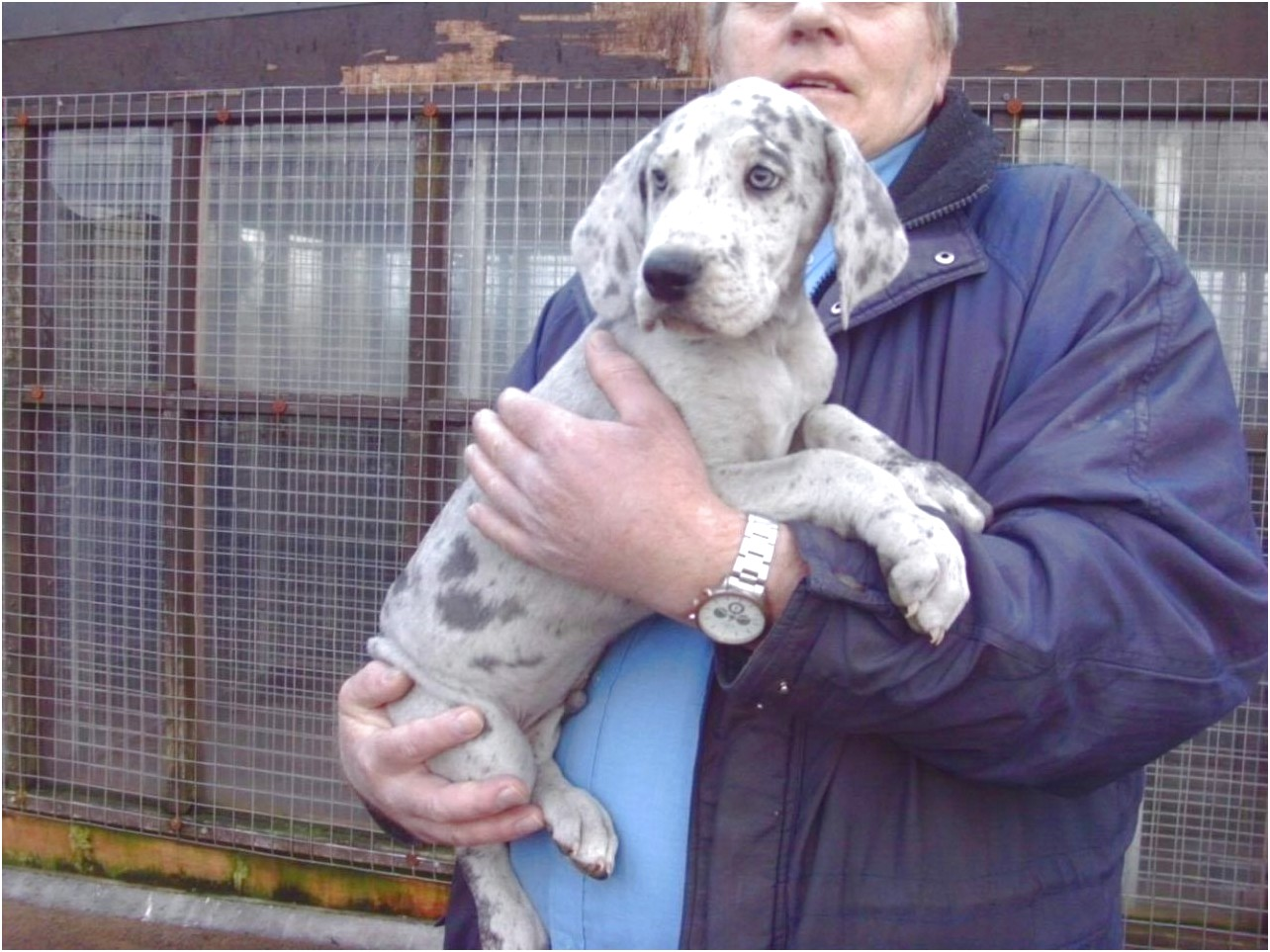 great dane puppies for sale 2017