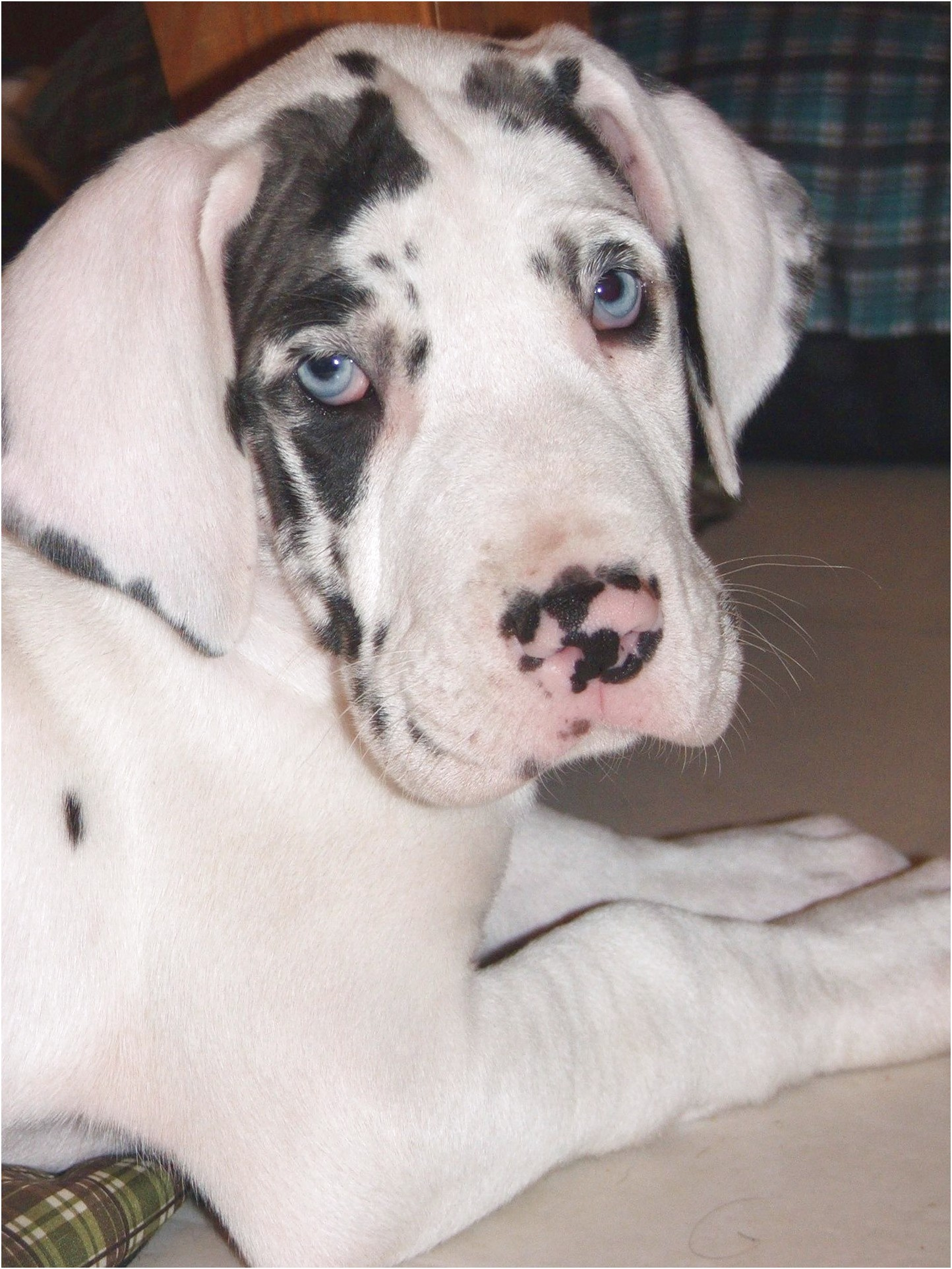great dane puppies for sale 300