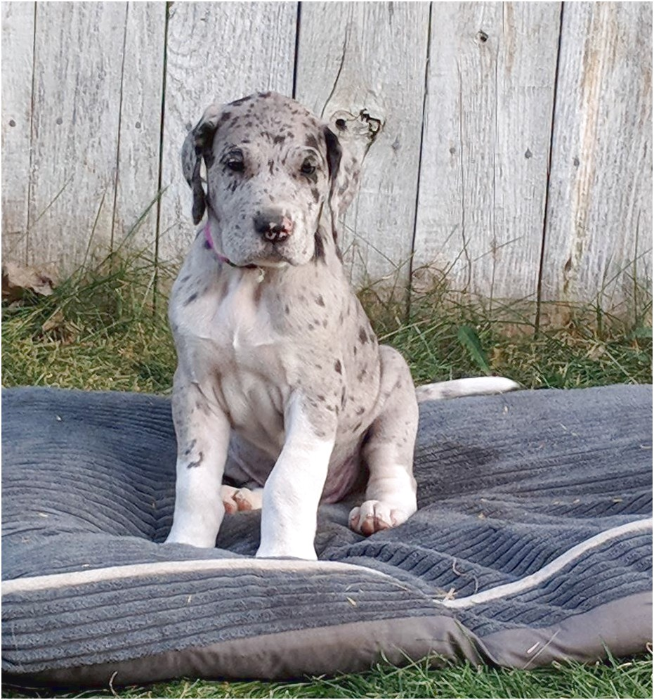 great dane puppies for sale adelaide