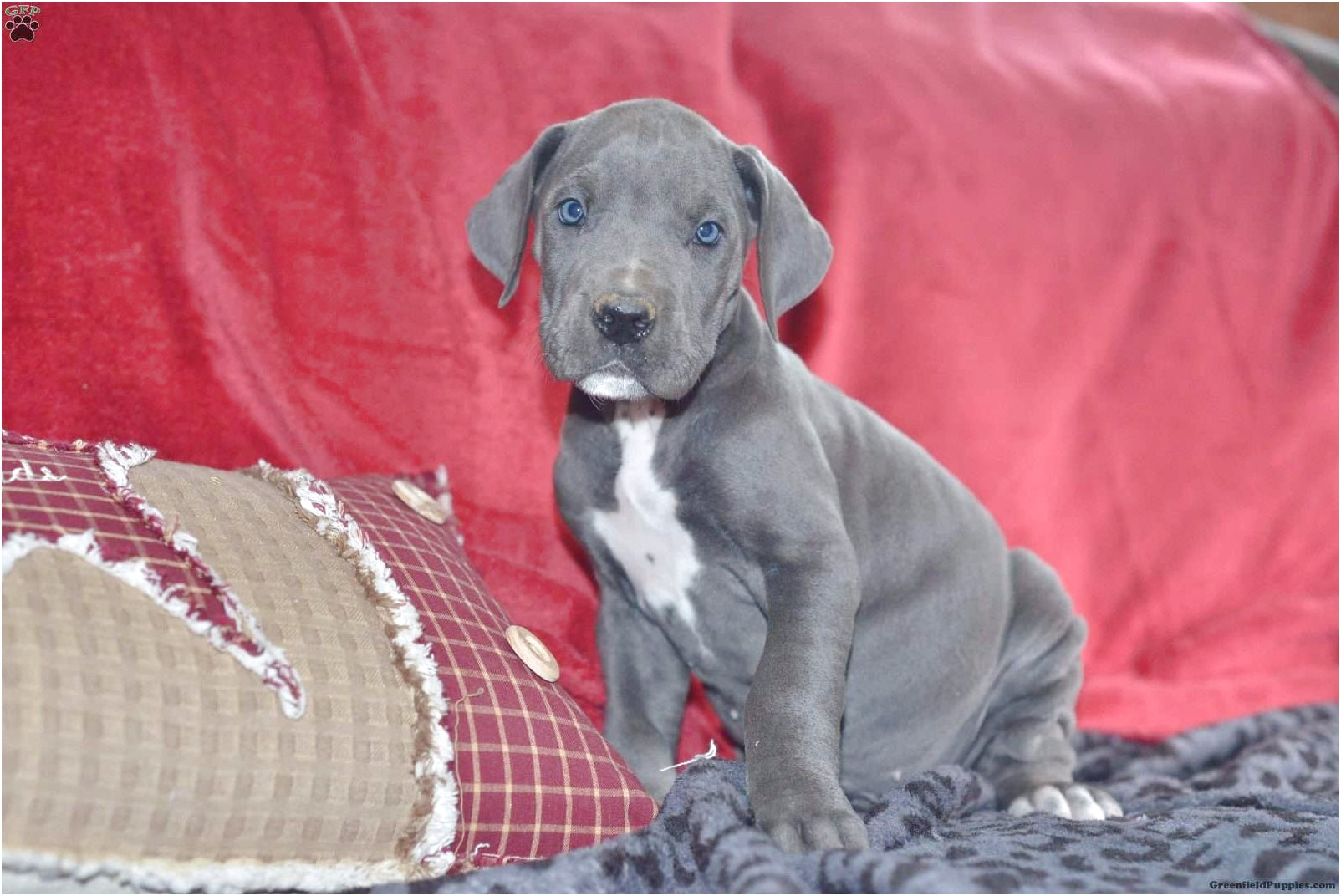 great dane puppies for sale arkansas