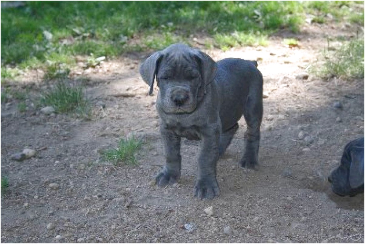 great dane puppies for sale australia