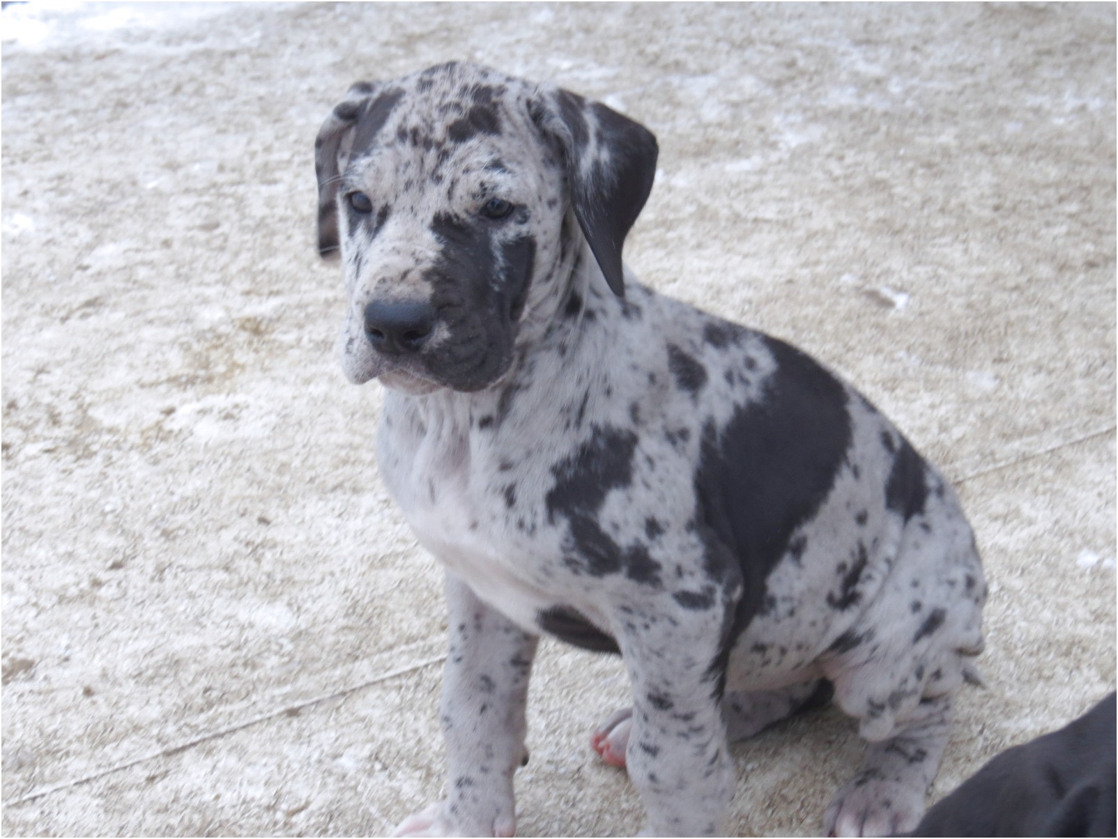 great dane puppies for sale bc
