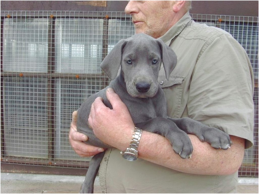 great dane puppies for sale cardiff