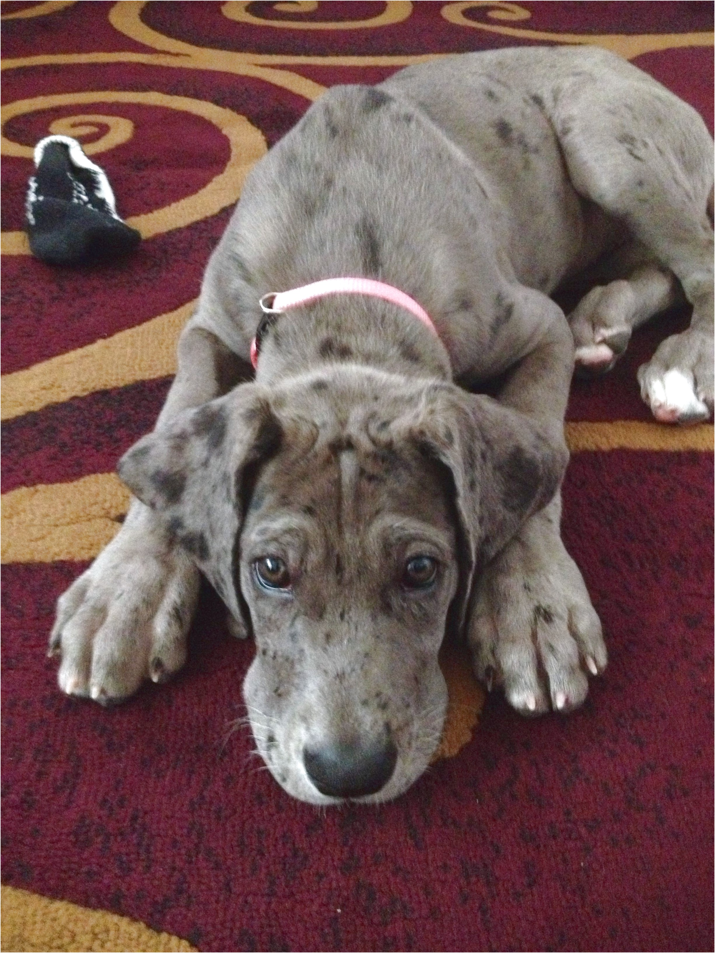 great dane puppies for sale denver