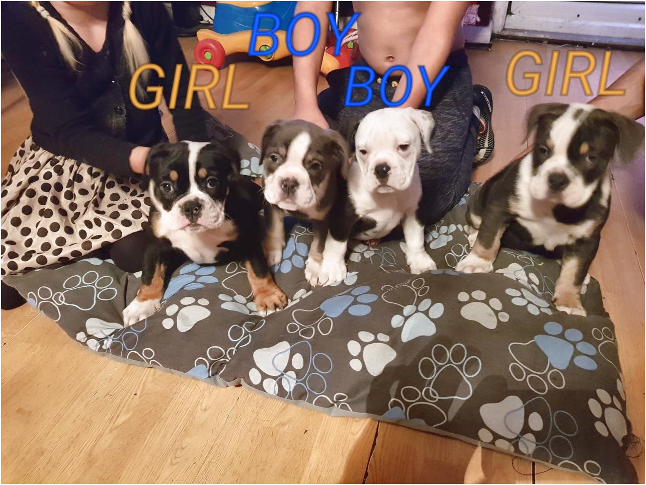 great dane puppies for sale east london