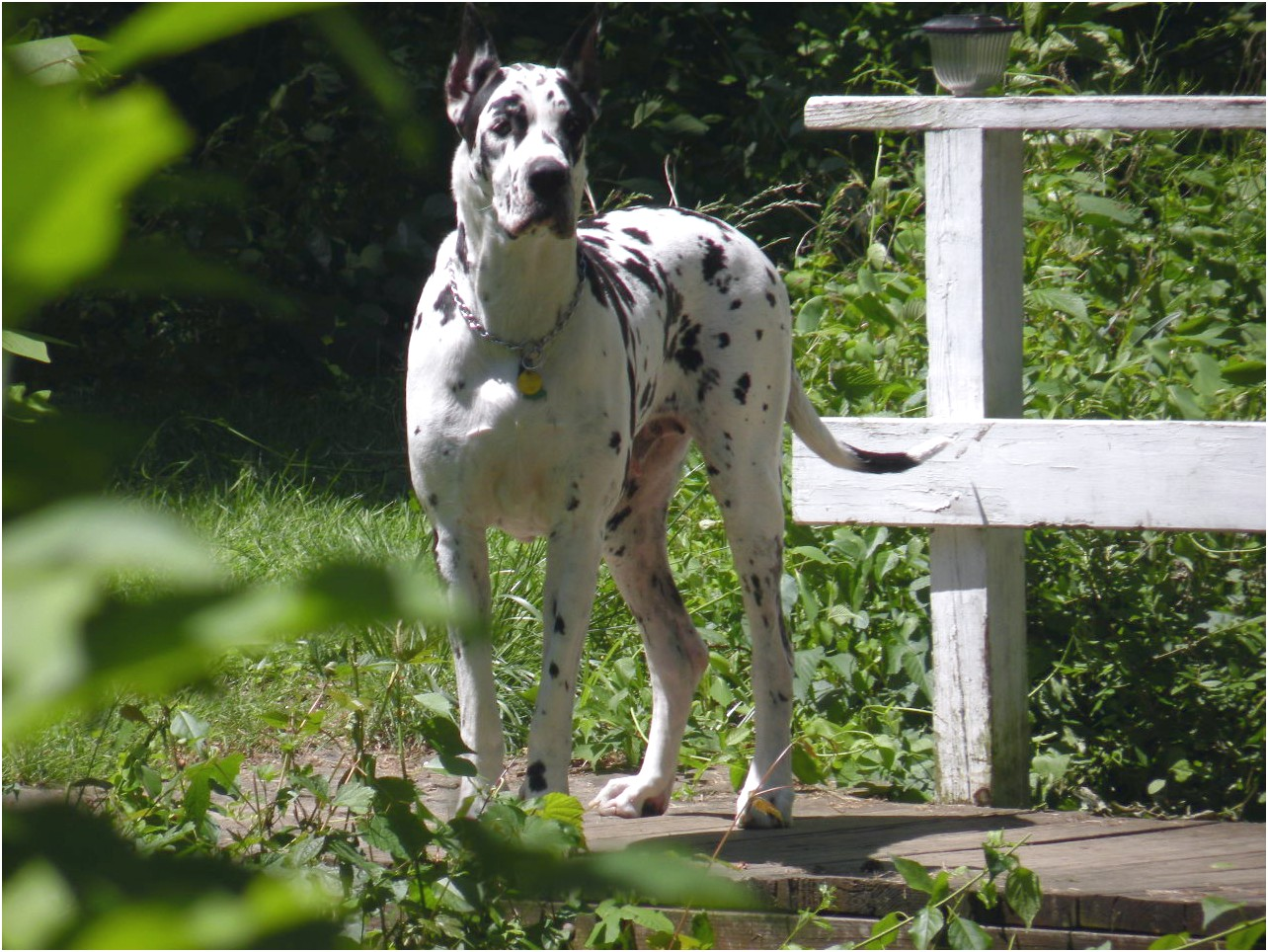 great dane puppies for sale europe