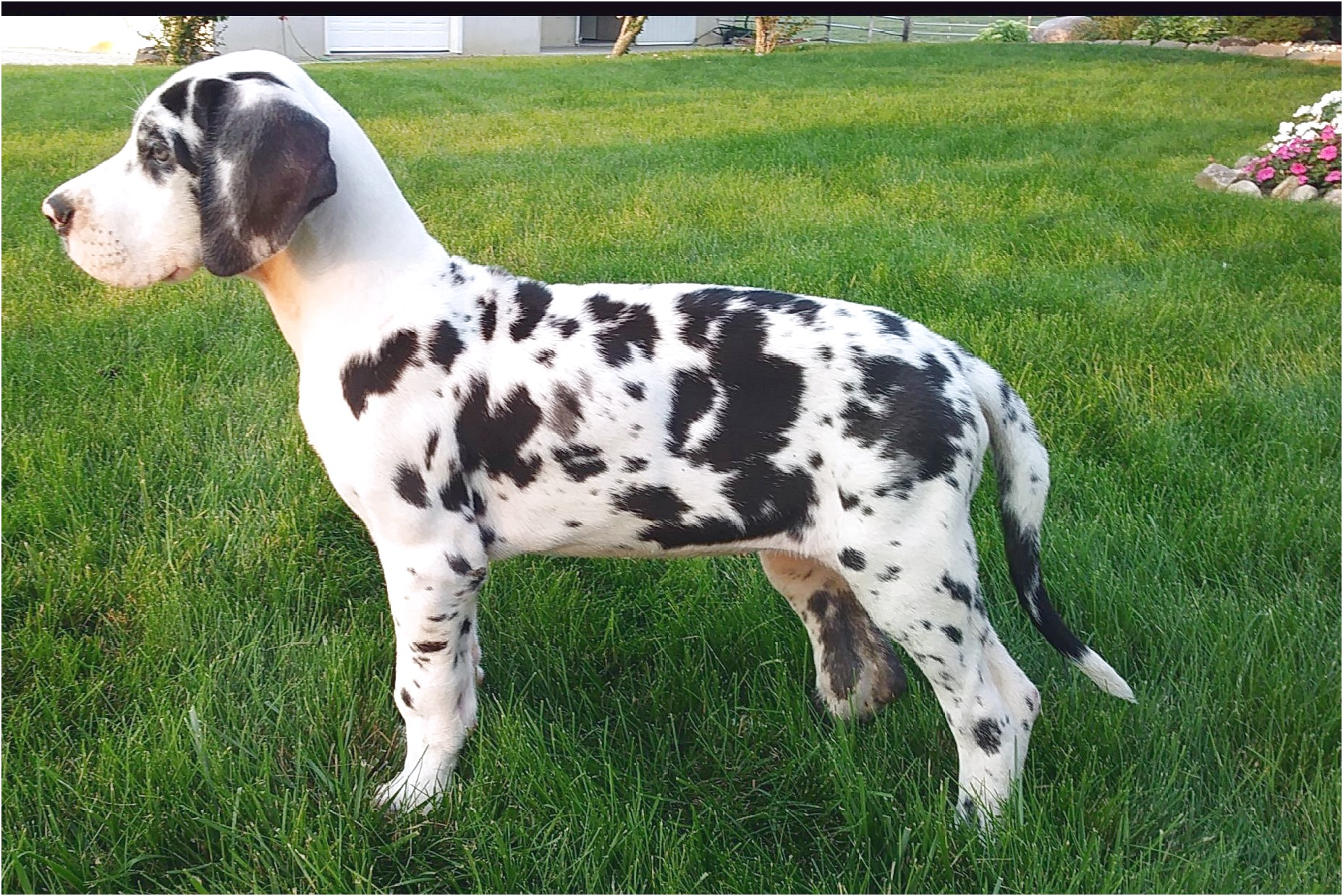 great dane puppies for sale fort wayne indiana