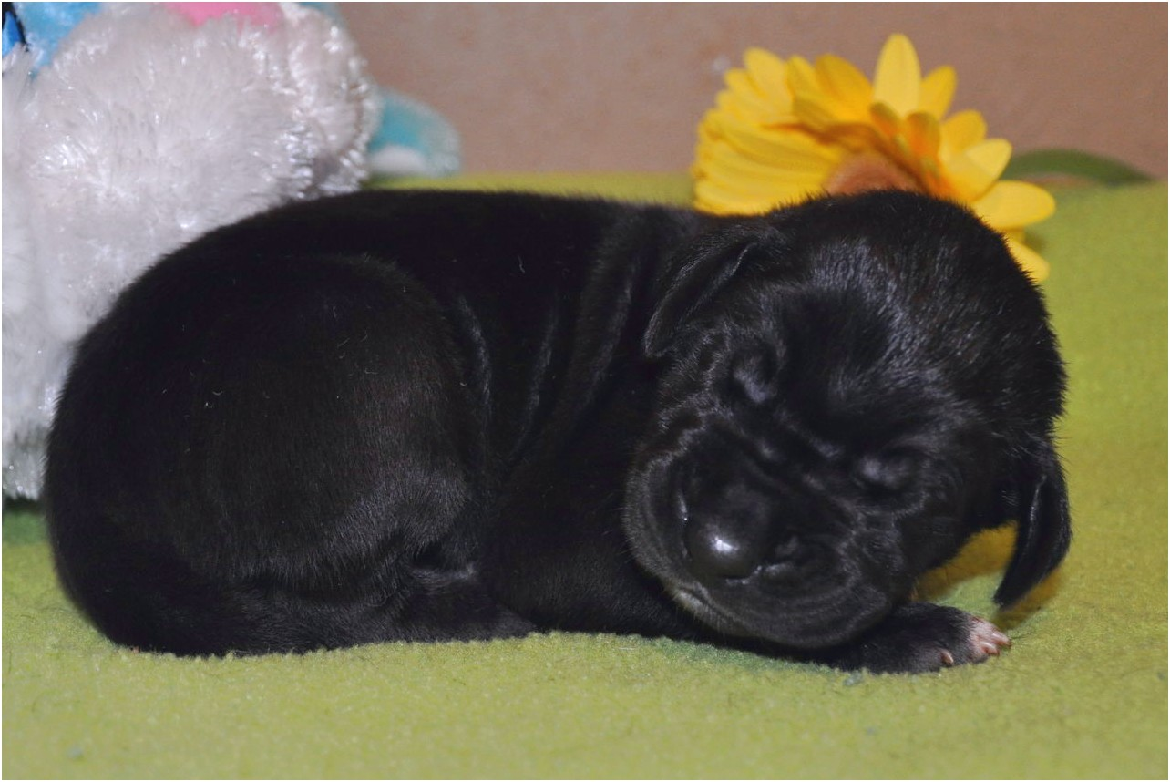 great dane puppies for sale fort worth