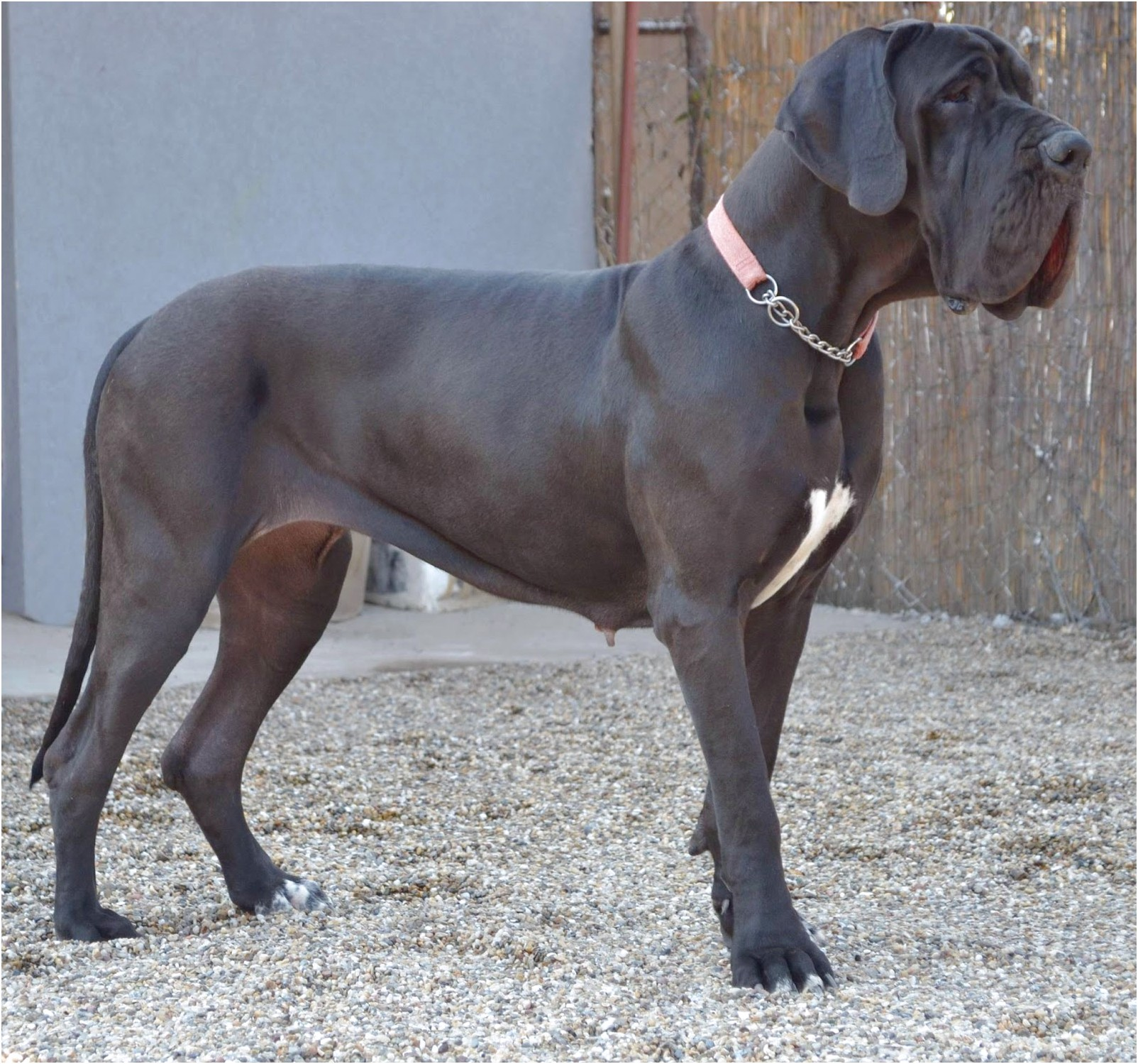 great dane puppies for sale france