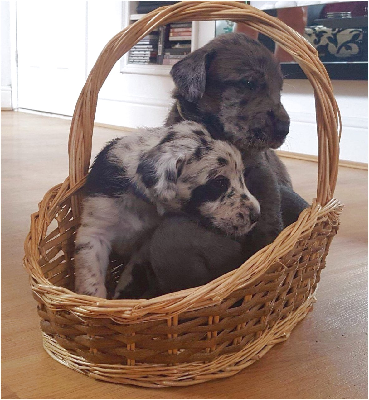 great dane puppies for sale hampshire
