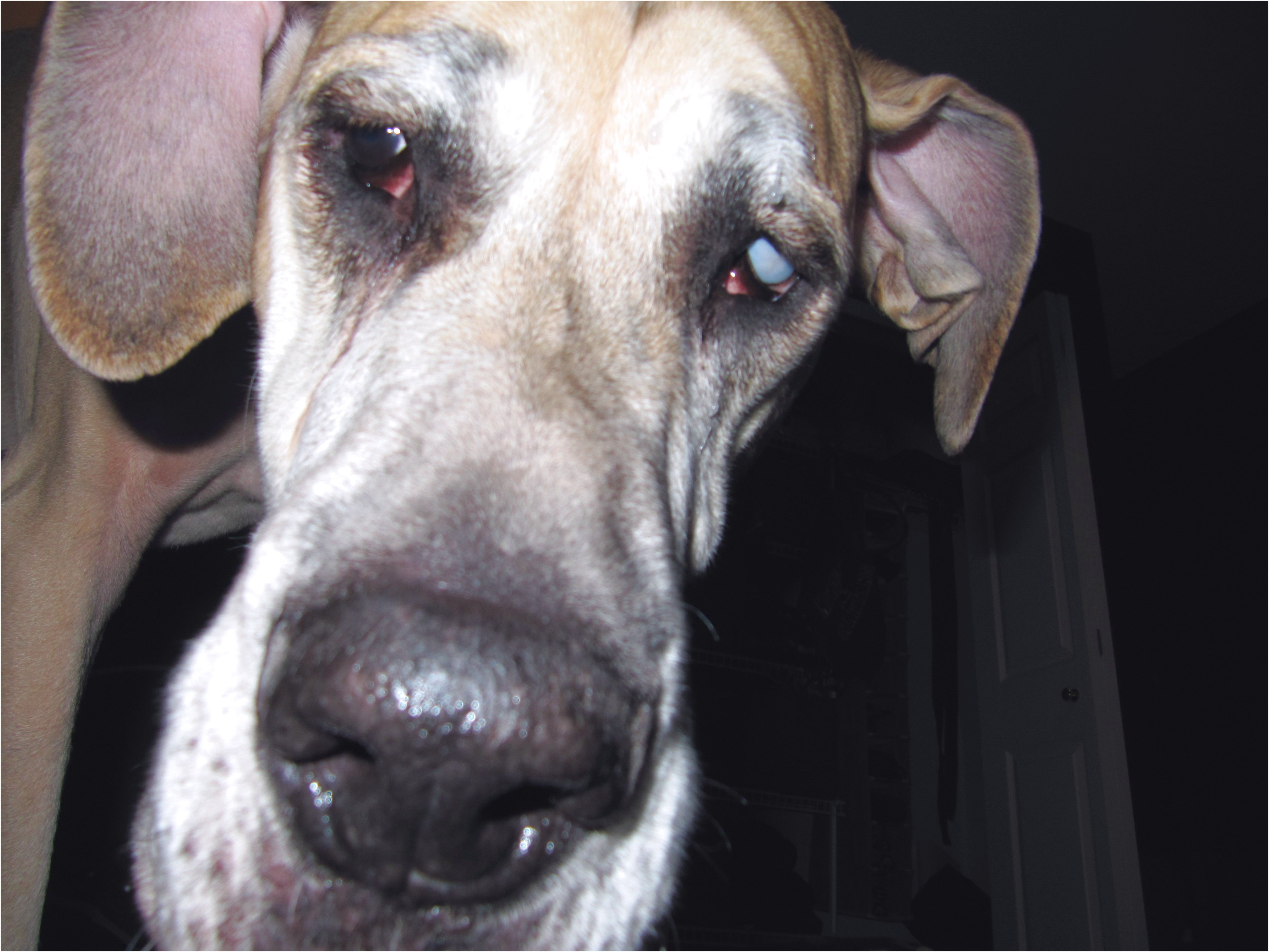 great dane puppies for sale houston