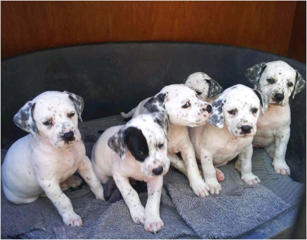 great dane puppies for sale hull