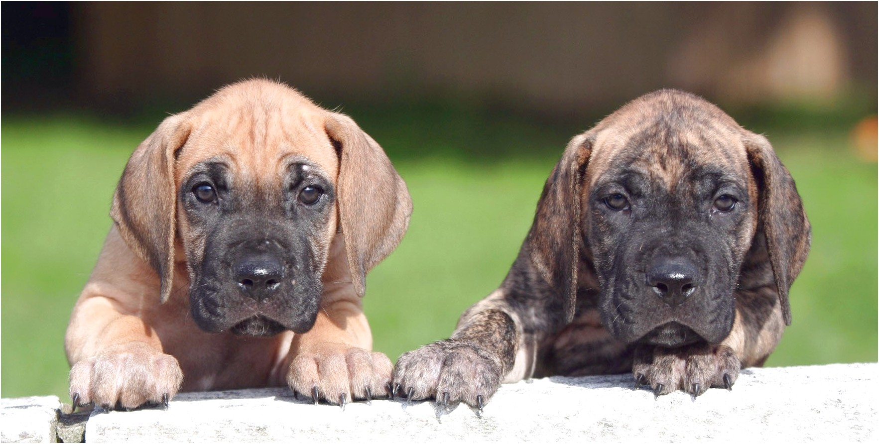 great dane puppies for sale in az
