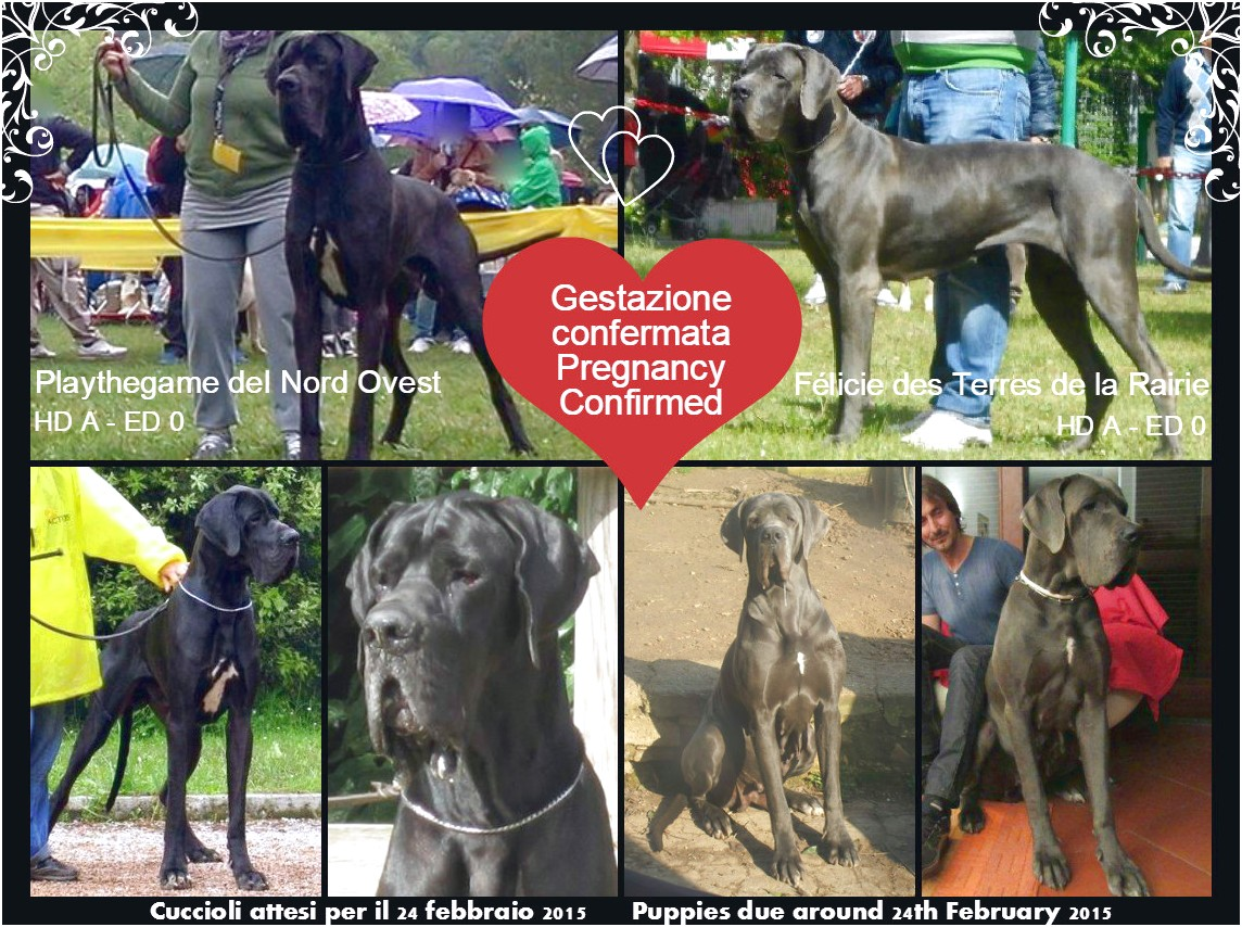 great dane puppies for sale in central illinois
