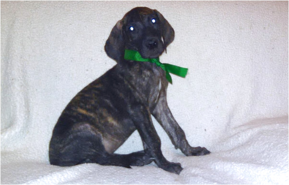 great dane puppies for sale in east texas