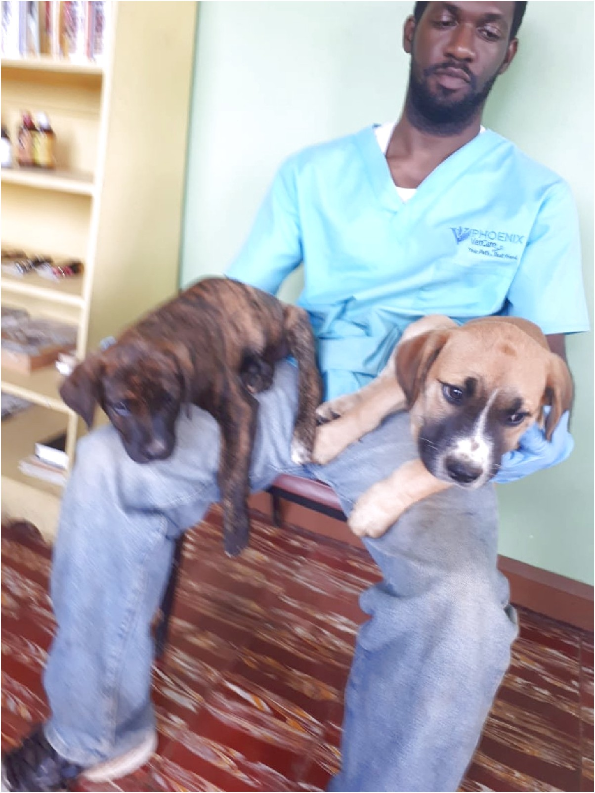great dane puppies for sale in jamaica