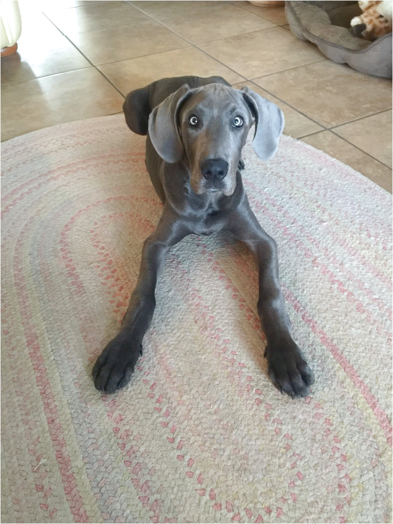 great dane puppies for sale in lancaster ohio