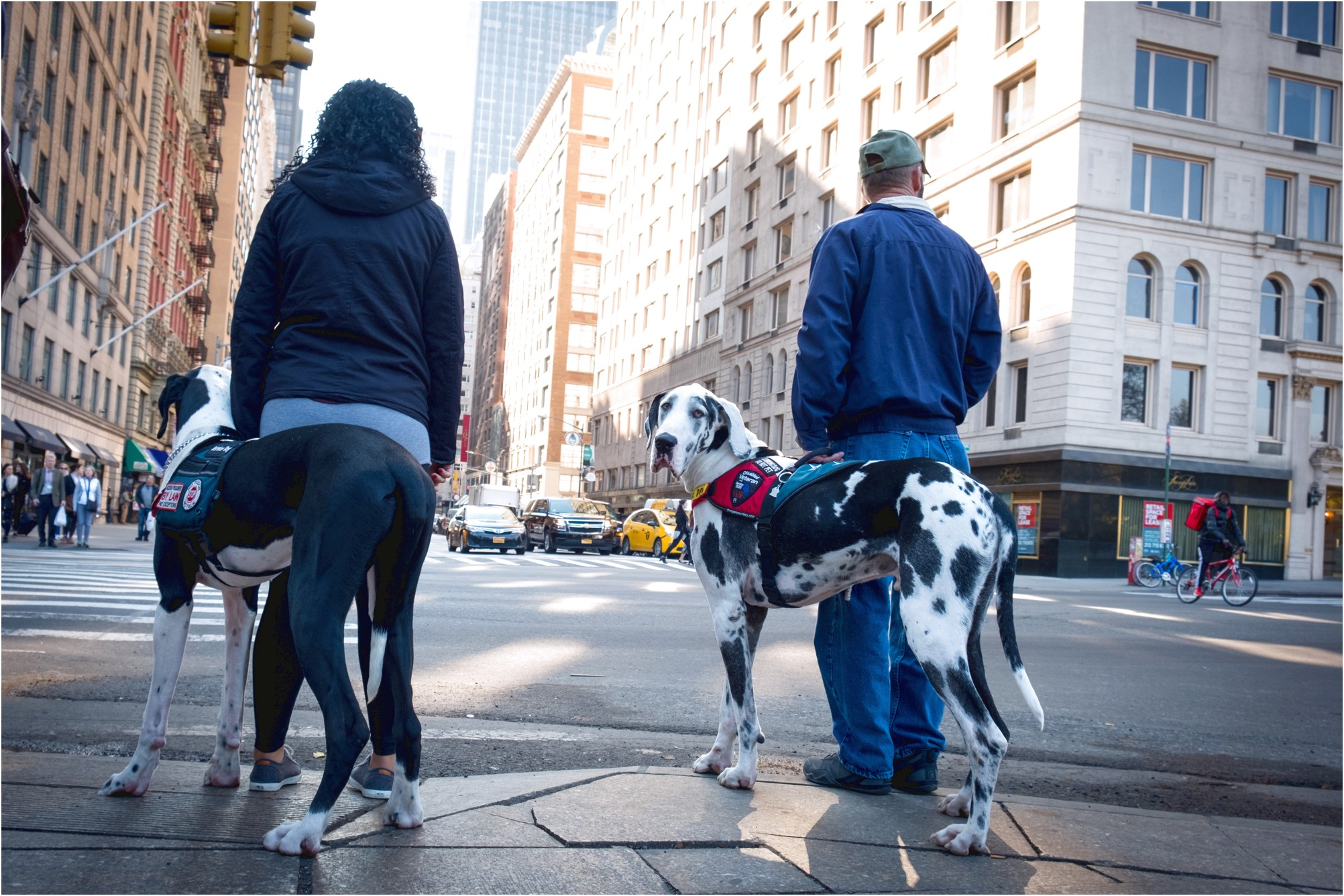 great dane puppies for sale in new york state