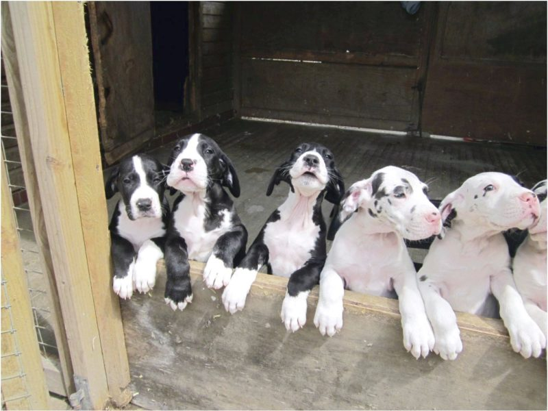 great dane puppies for sale in north georgia