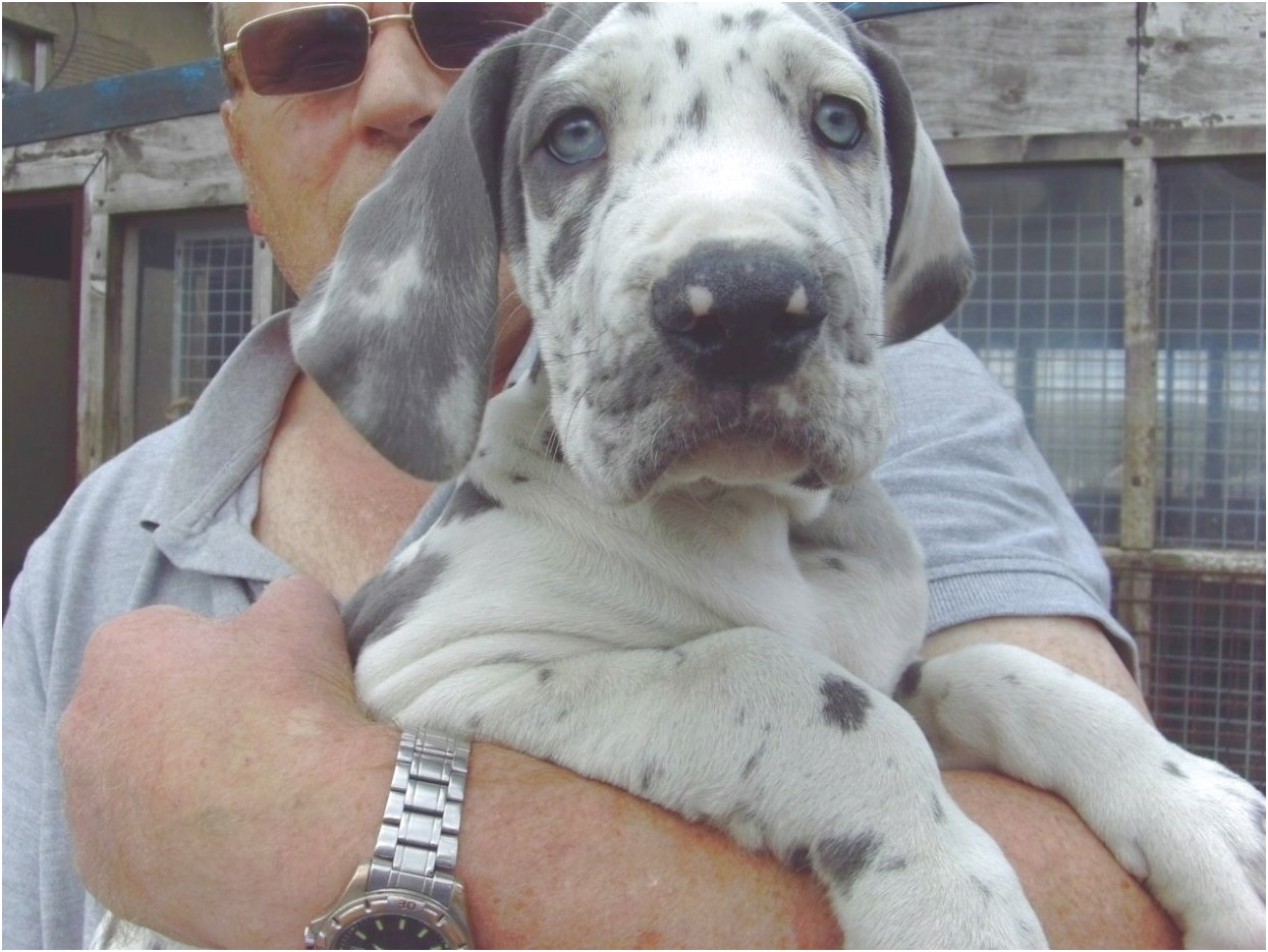 great dane puppies for sale in texas