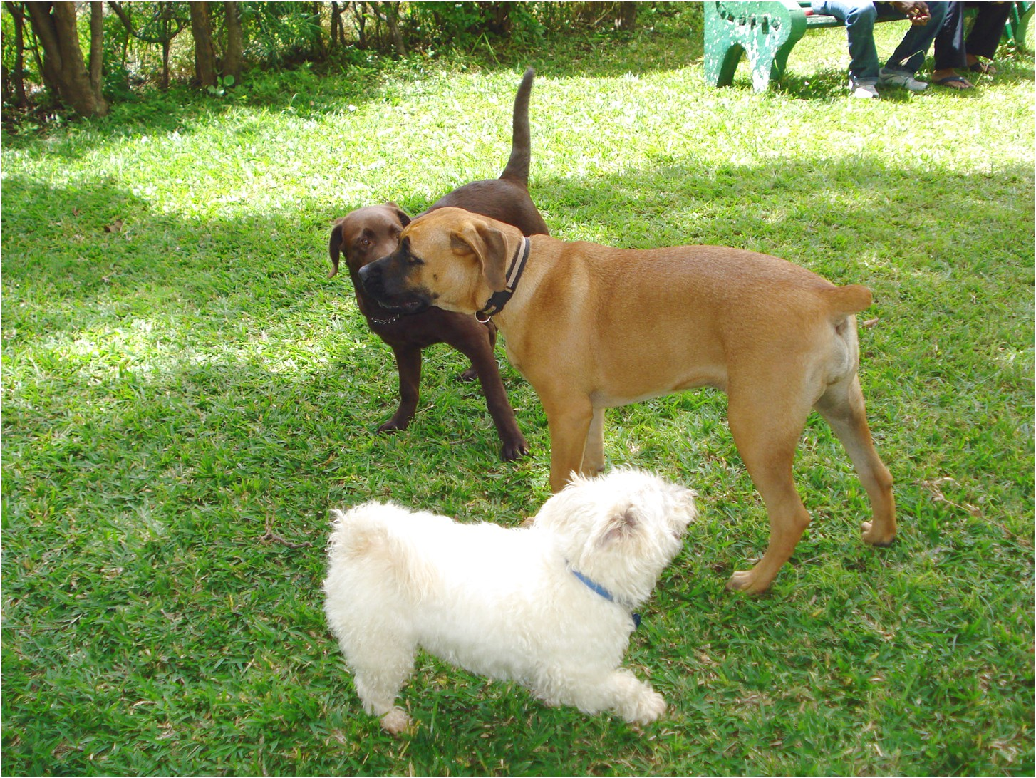 great dane puppies for sale in zambia