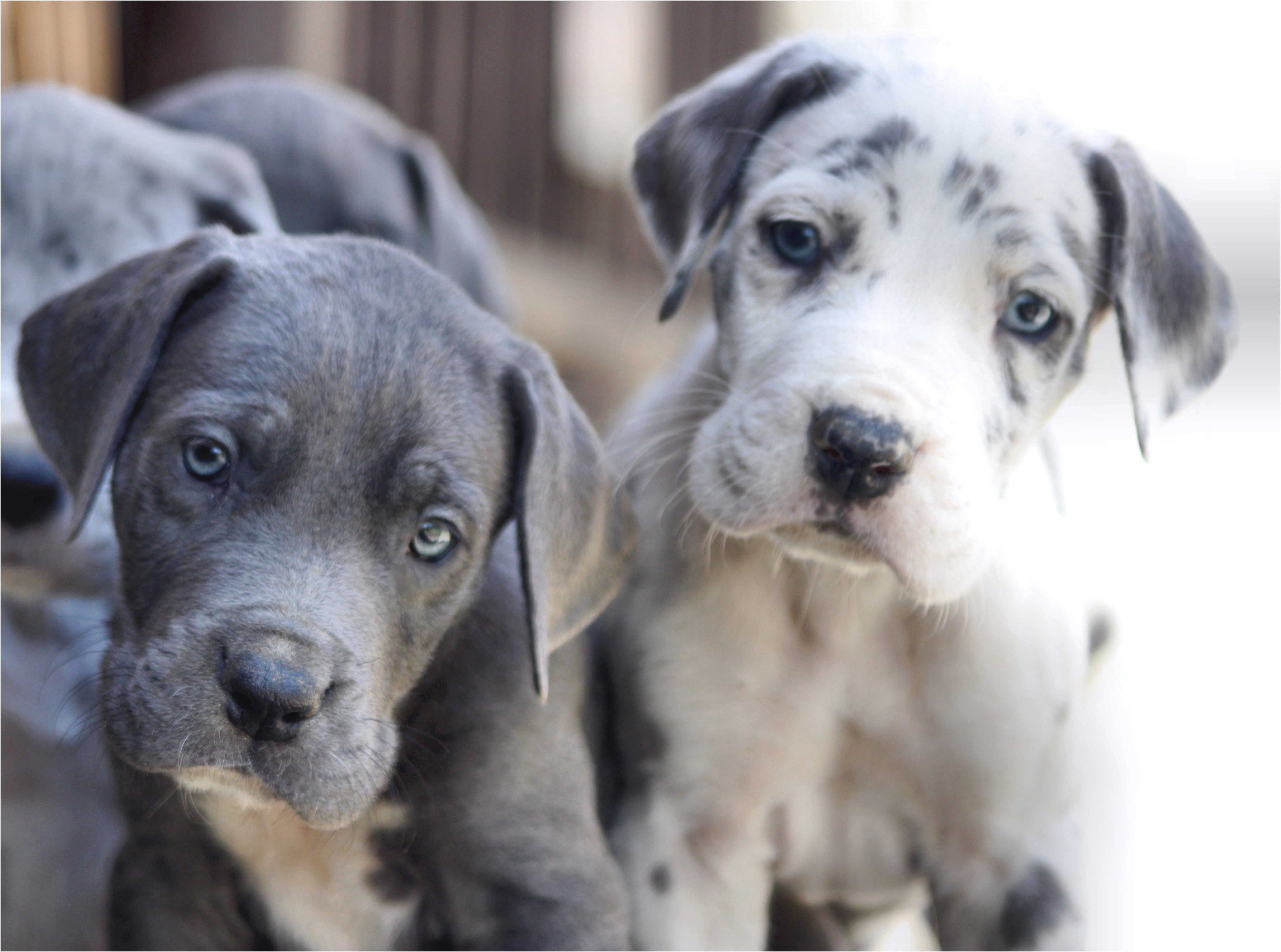 great dane puppies for sale knoxville tn