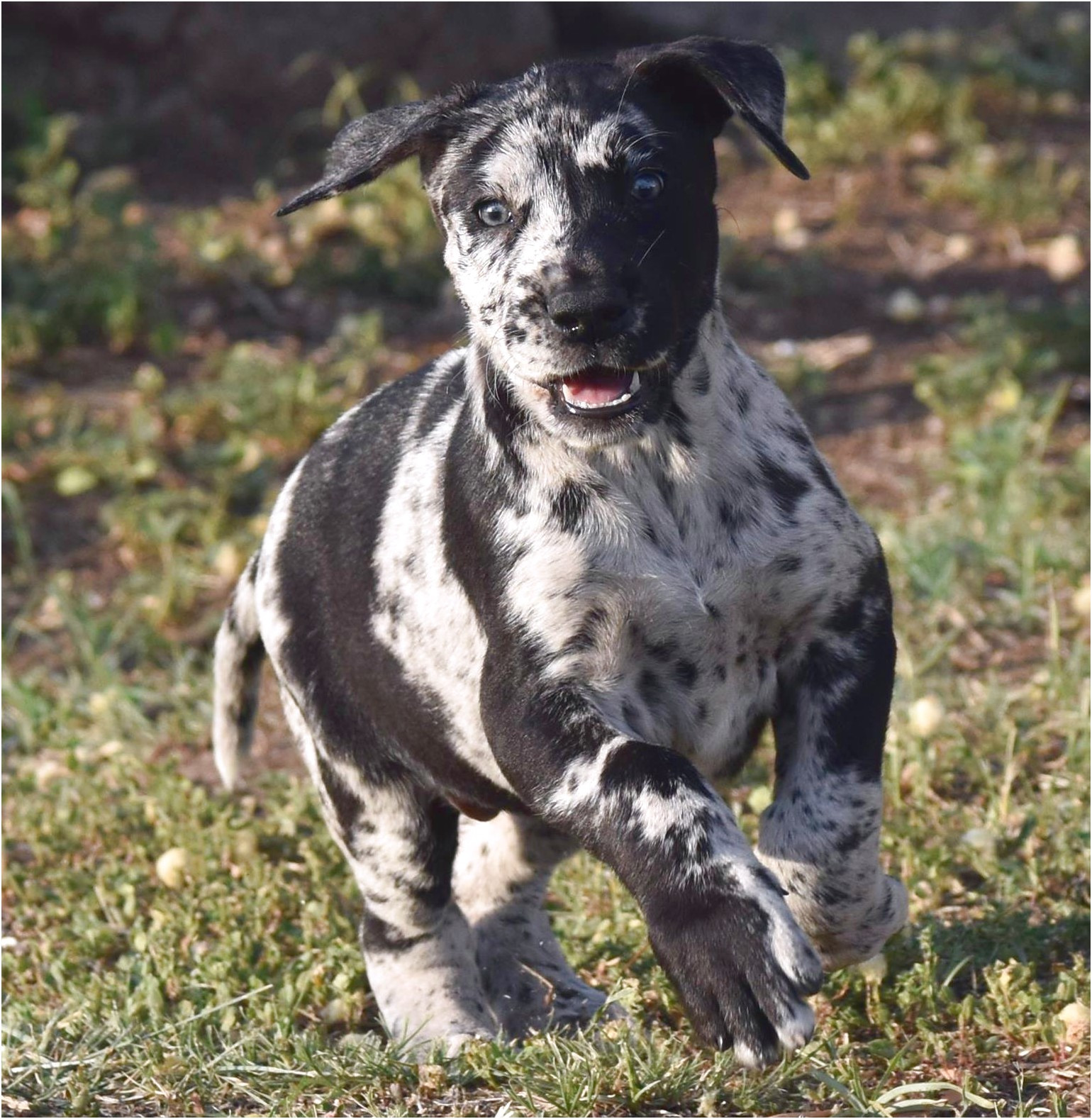 great dane puppies for sale louisiana