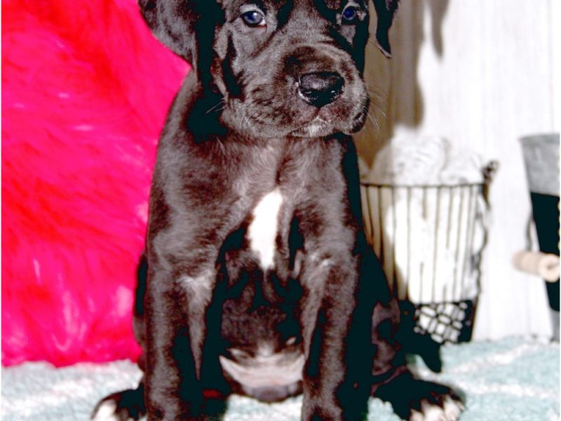 great dane puppies for sale louisville ky