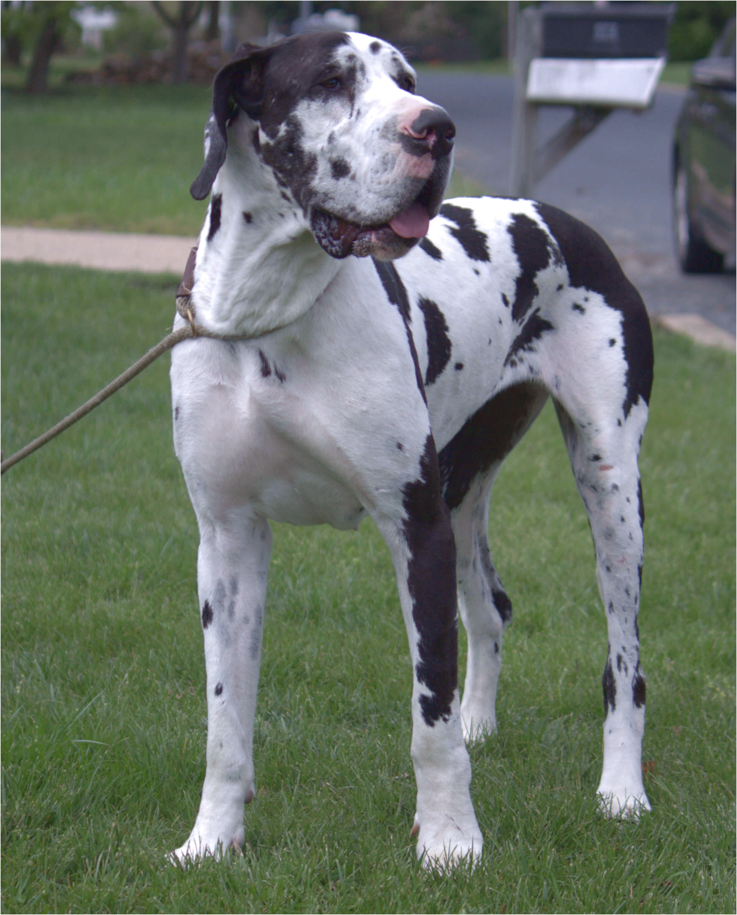 great dane puppies for sale maryland