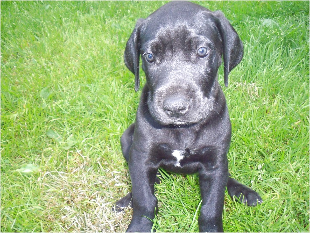 great dane puppies for sale mn