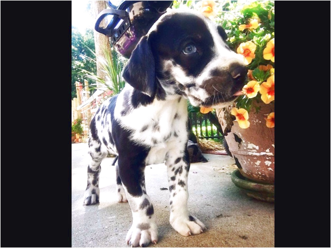 great dane puppies for sale nc