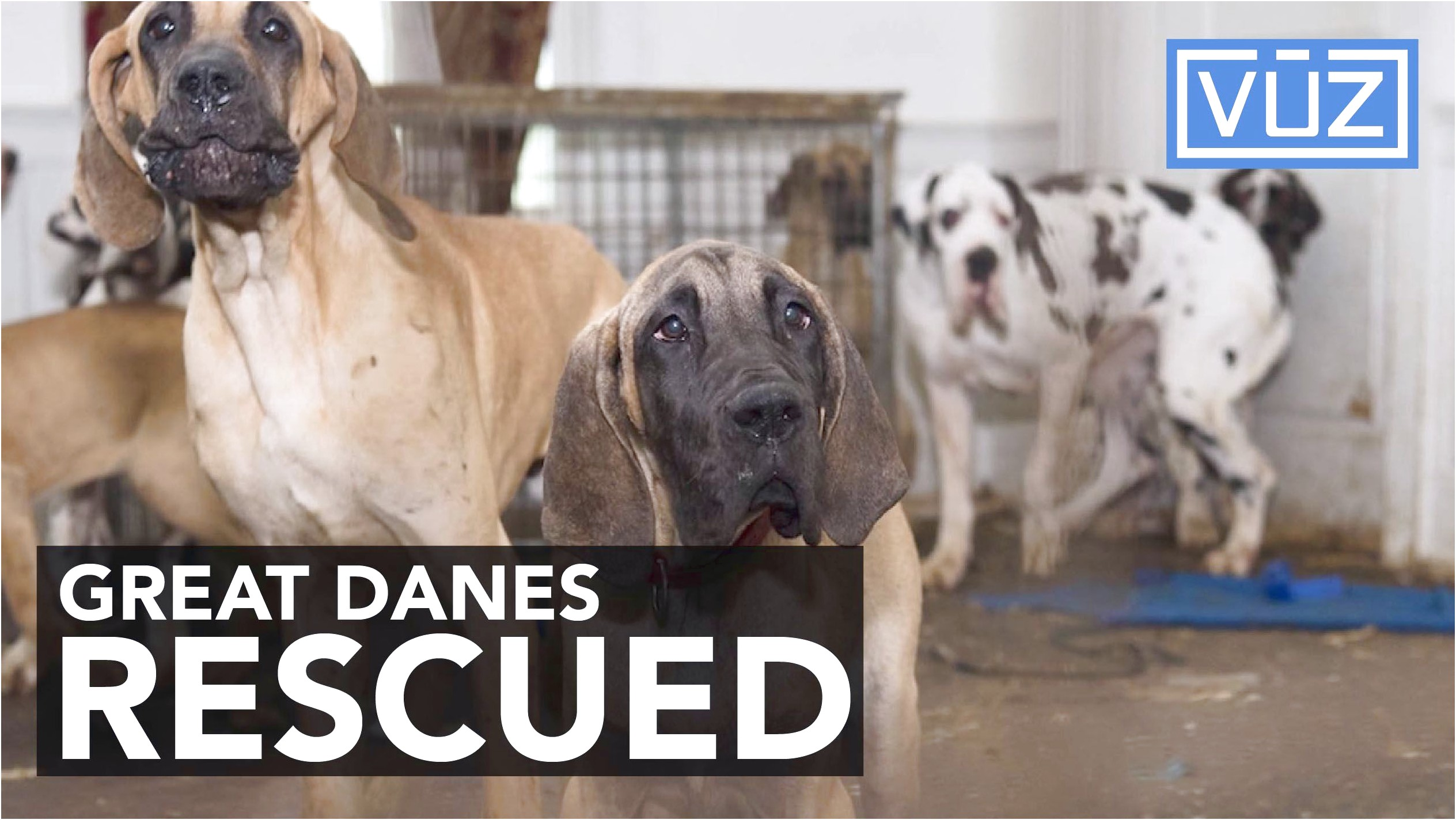 great dane puppies for sale near cincinnati ohio