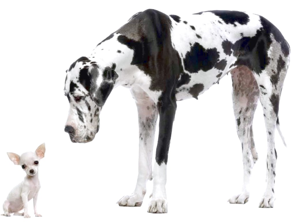 great dane puppies for sale near illinois