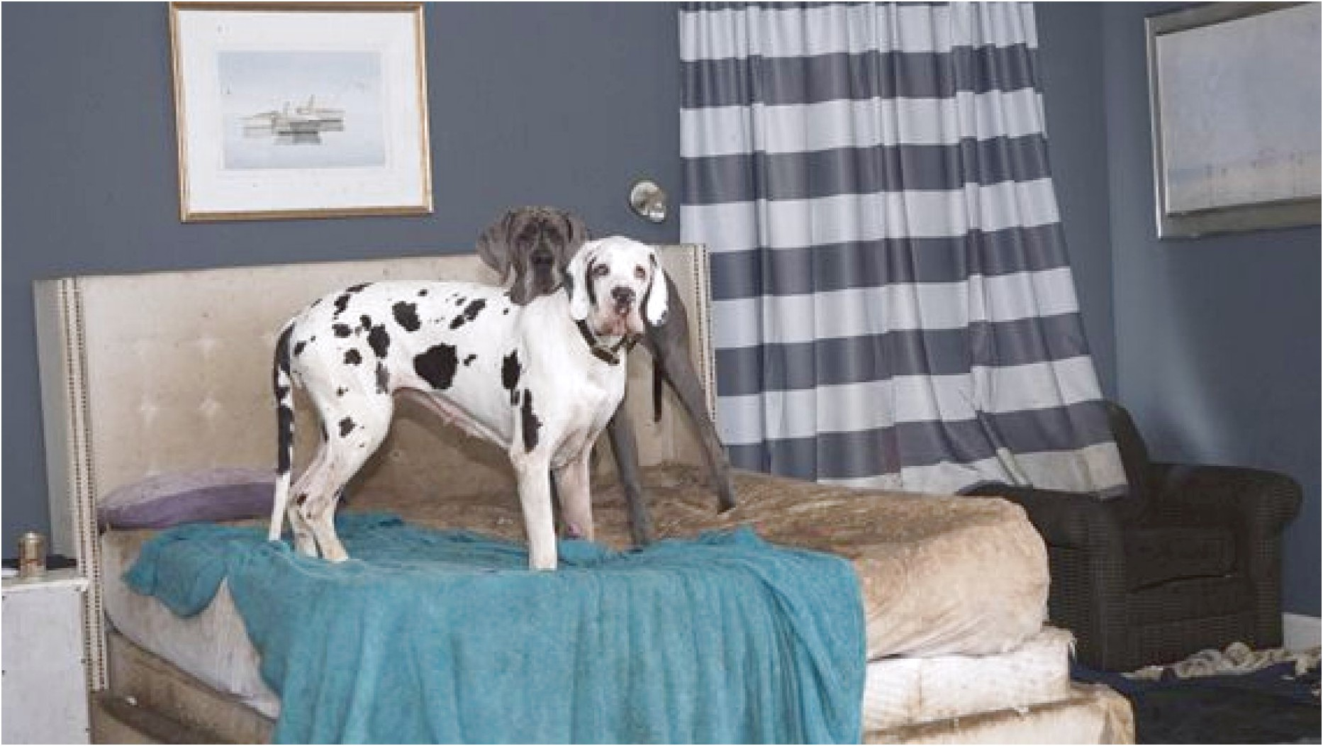 great dane puppies for sale nh